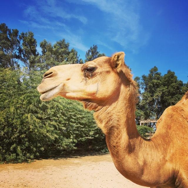 Kamel in Bahrain